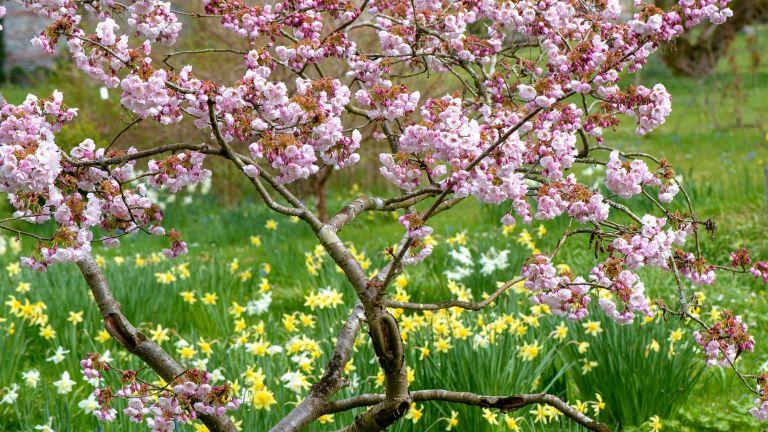 best trees for small gardens – Japanese flowering ornamental cherry