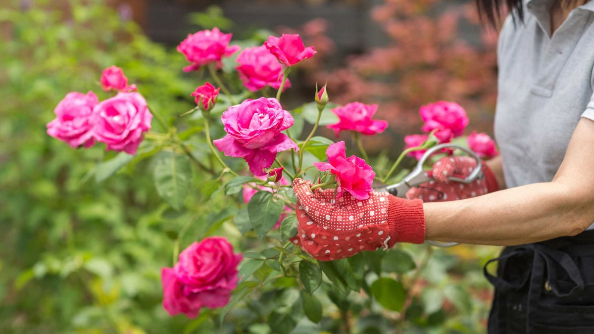 Garden experts name the most common rose propagating mistakes
