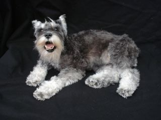 A freeze-dried preserved schnauzer.