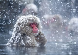A snow monkey relaxes in a hot spring at the Jigokudani Monkey Park, Nagano, in Japan.