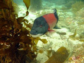 Male sheephead fish