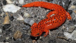 Red Salamander (Pseudotriton ruber) seen on a rainy night in North Carolina.