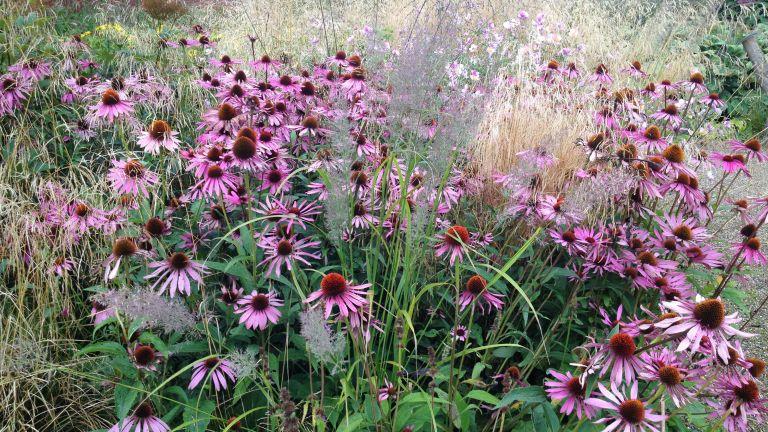 How to grow echinacea: Echinacea purpurea 'Magnus Superior'