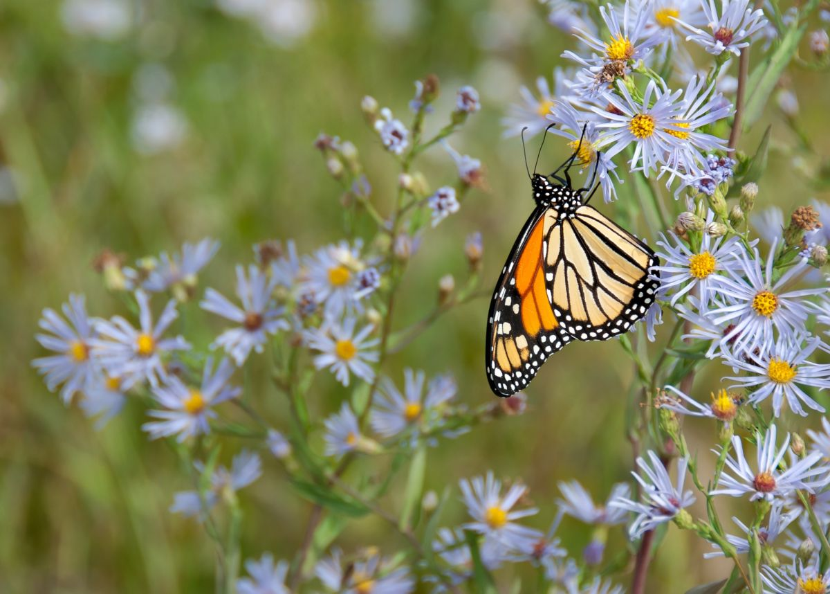 These are the wildflowers most likely to attract butterflies and pollinators