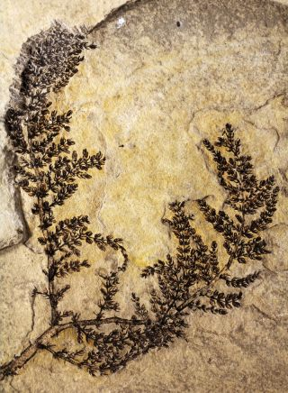 The intact fossil of the aquatic plant <em>Montsechia vidalii</em> that grew in freshwater lakes 125 million to 130 million years ago in what is now Spain.