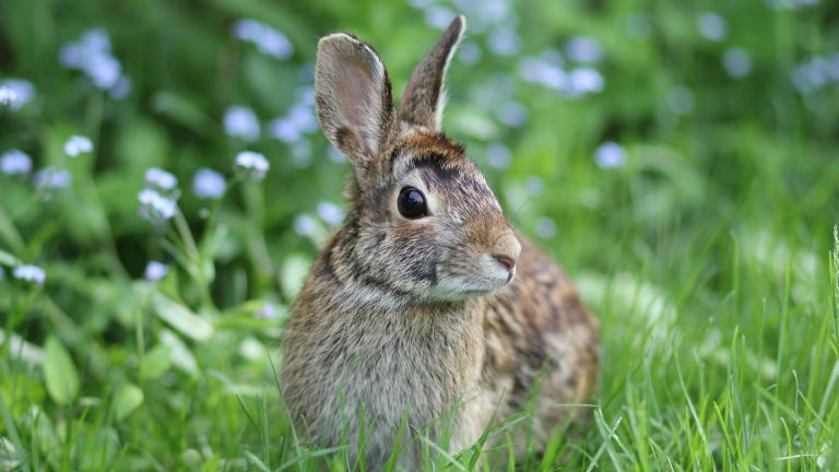 How to keep rabbits out of your garden or yard: close-up of rabbit