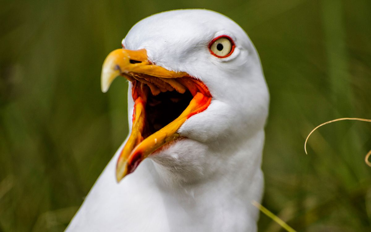 Chihuahua Was Abducted by a Seagull. It Could Happen, Expert Says.