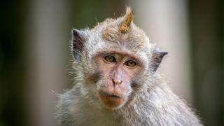 Cynomolgus macaque monkey