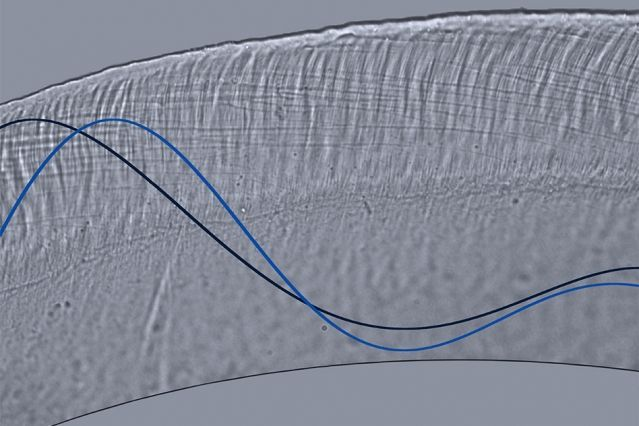 This optical microscope image illustrates wave motion in the tectorial membrane, a gooey membrane somewhat reminiscent of Jell-O that sits on top of the sensory hair cells in the cochlea. New research shows that the membrane is able to tune its stiffness to better translate sounds at certain frequencies into neural impulses.