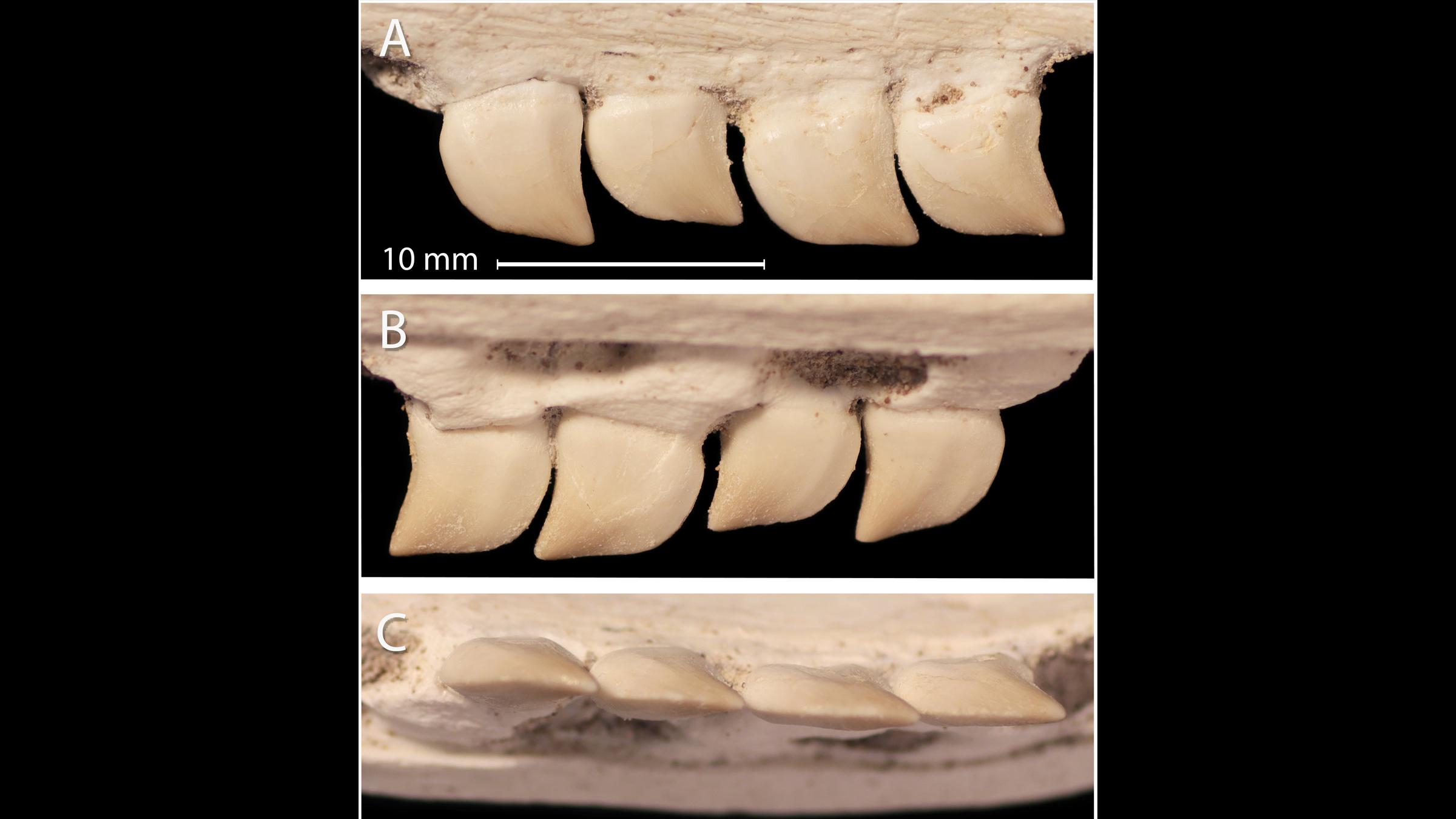 A close-up view of Xenodens' teeth