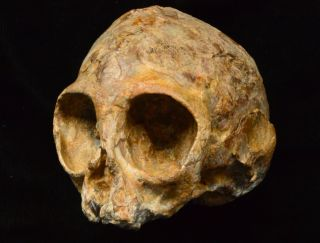 This skull belongs to a 16-month-old ape, now called <em>Nyanzapithecus alesi</em>, that died about 13 million years ago.