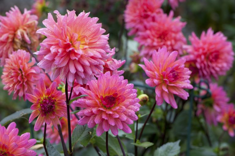 Sarah Raven's favourite varieties of dahlia