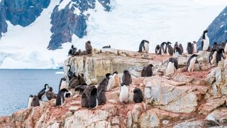 Adelie penguins in Antarctica surrounded by guano.