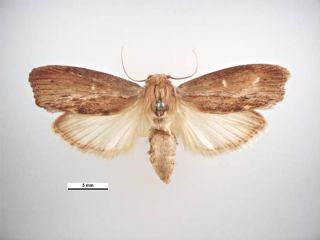 An image of a greater wax moth.