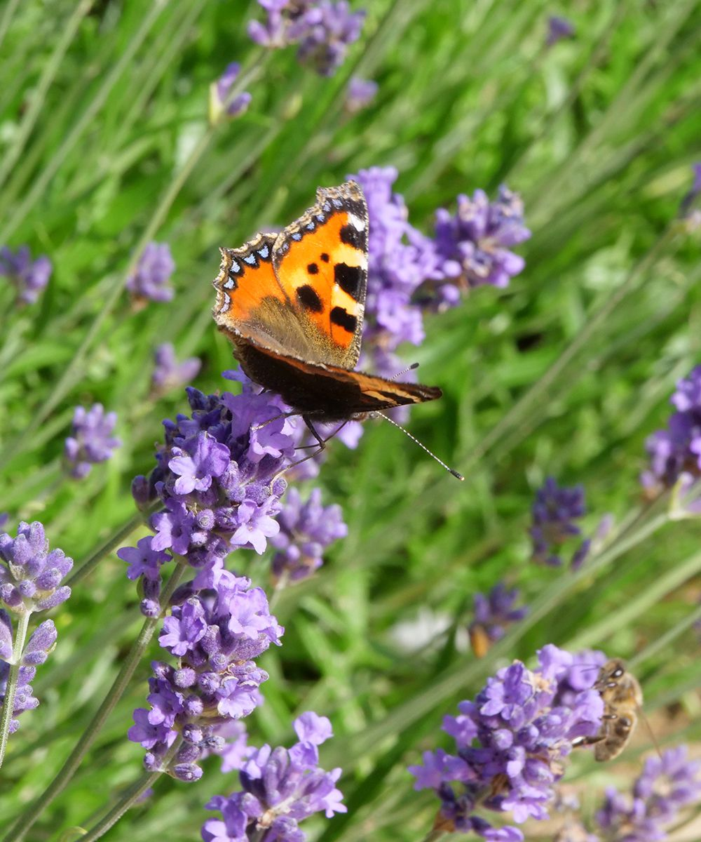 How to grow lavender – with inspiration from the National Trust's Hidcote gardens