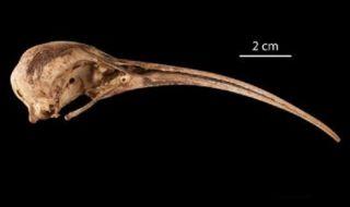 extinct ibis species, Hawaiian ibis, extinct Hawaiian birds, flightless birds,
