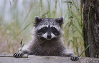 Why Raccoons Didn't Cut It as Lab Rats | Live Science