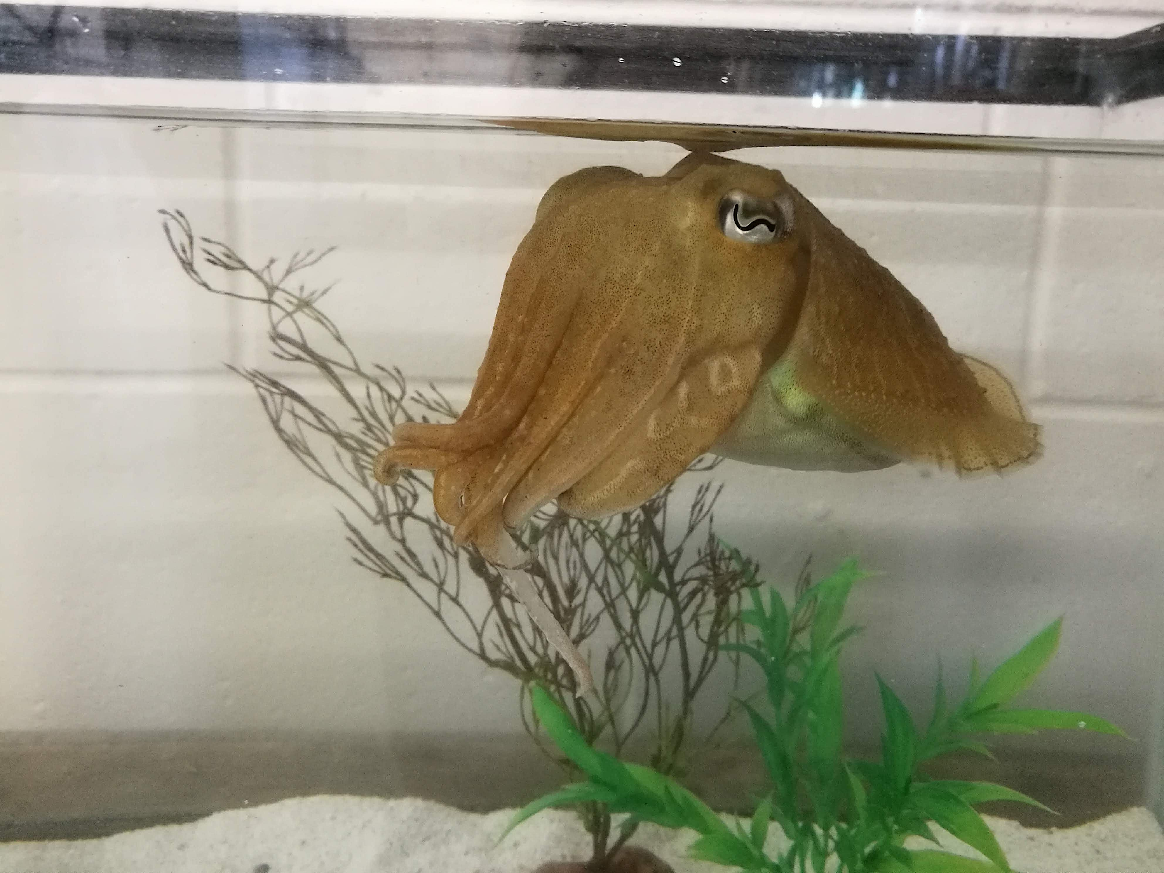 One of the six 9-month old cuttlefish that participated in the experiment.