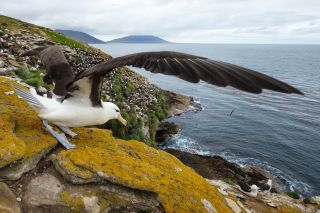 A black-browed albatross getting ready to take off at the Falkland Islands.