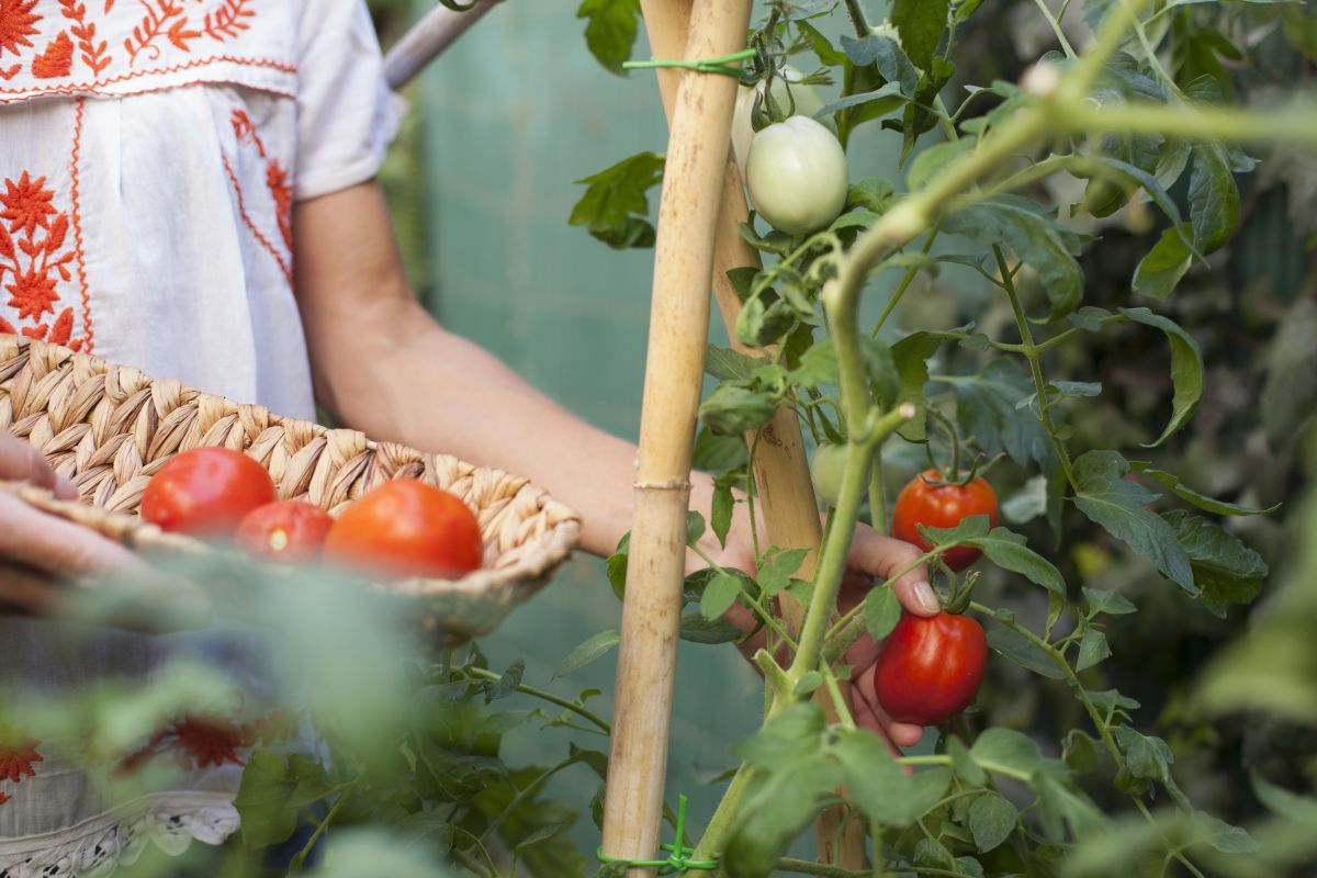 Monty Don shares his secret for maximizing your tomato harvest