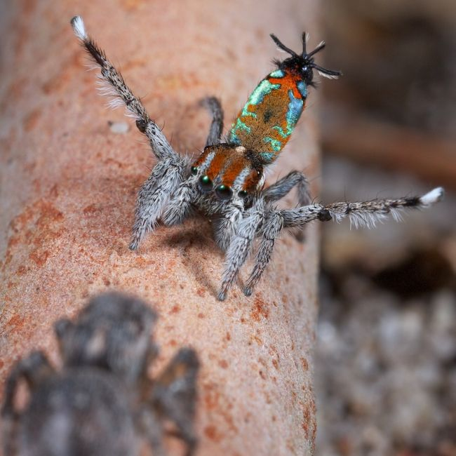 Peacock spider Maratus calcitrans doing his dance in front of a female.