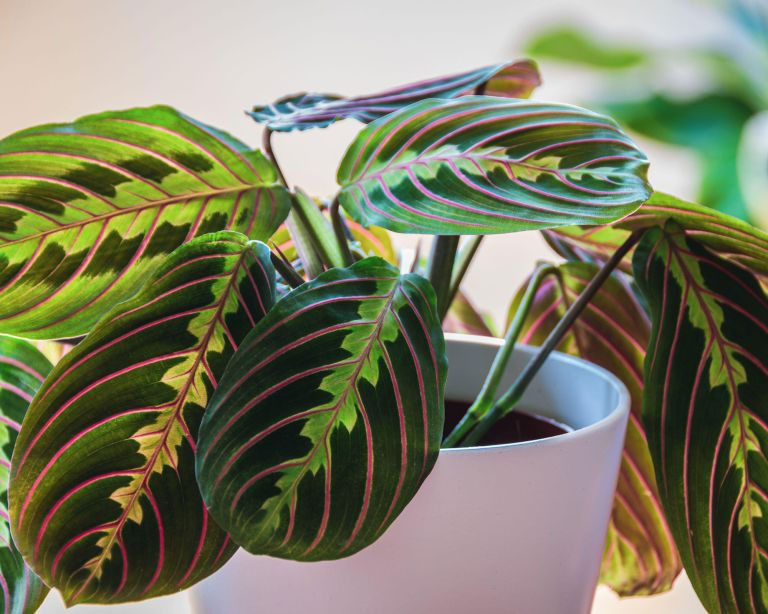 prayer plant or maranta: plant said to reduce CO2 levels in homes