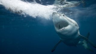 Underwater photo of a great white shark.
