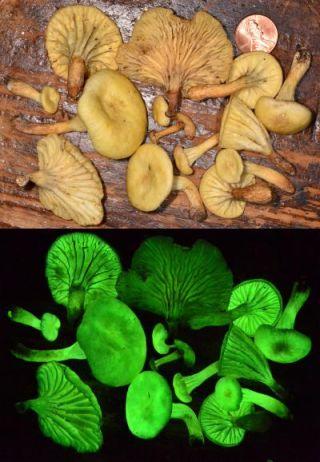 Neonothopanus gardneri mushroom