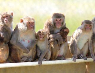 rhesus macaques, rhesus, macaque, rhesus macaque