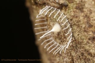 This strange formation found in the Peruvian Amazon resembles a tiny spire surrounded by a webby picket fence and is about 2 centimeters (0.8 inches) wide.