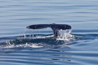 gray-whale-tail-110127-02