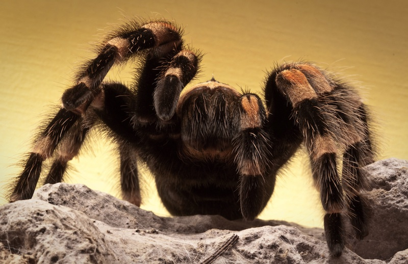 Tarantula Facts Live Science