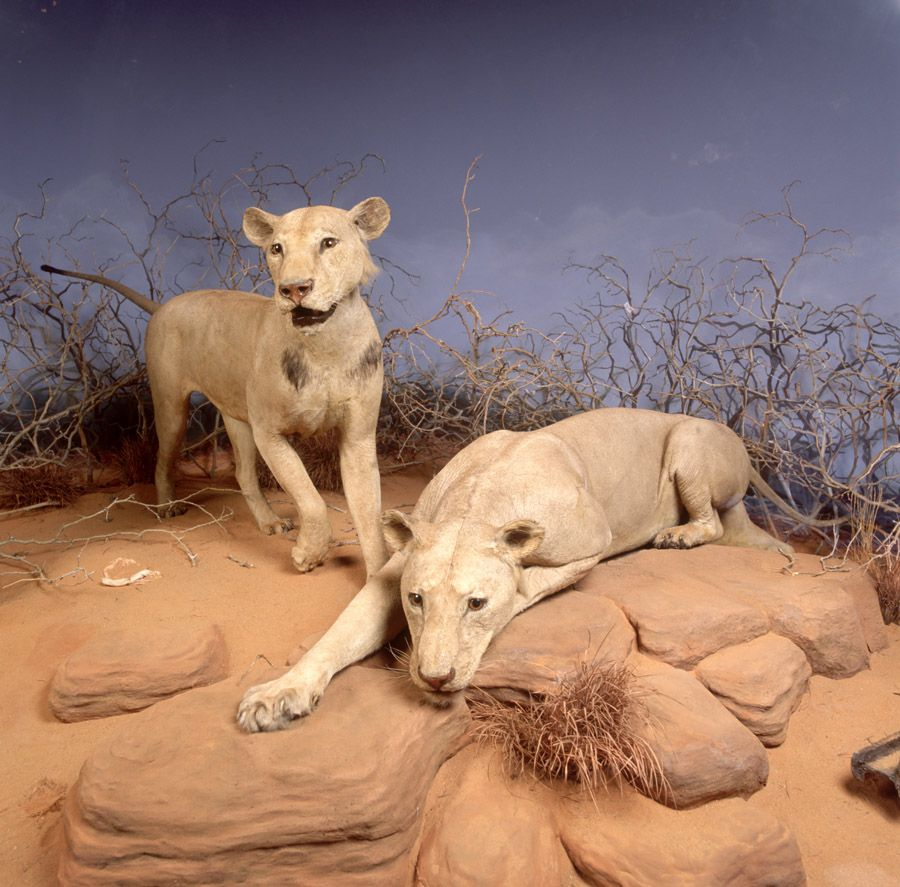 What Drove Tsavo Lions to Eat People? Century-Old Mystery