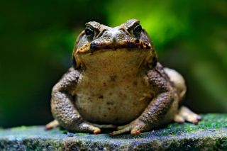 This cane toad would rather not be part of a plague treatment.