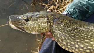 How to catch pike in spring - a freshly caught pike