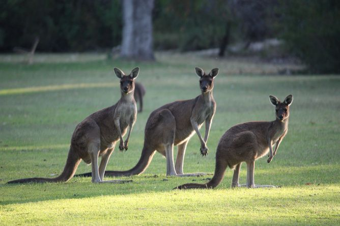 Kangaroos: Facts, Information & Pictures | Live Science