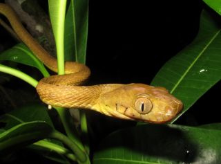 The brown tree snake, which is nocturnal, was accidentally introduced to Guam in the late 1940s or early 1950s.