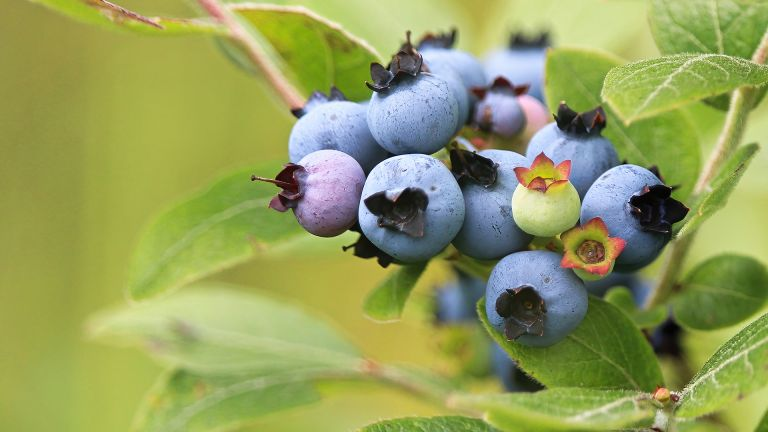 How to grow blueberries from cuttings or seed