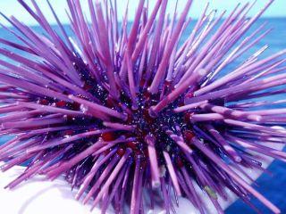 An adult purple sea urchin.