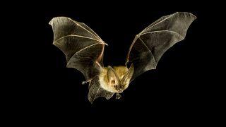 A Townsend's big-eared bat.