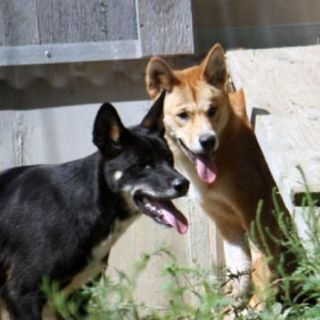 A male dingo named Brumby and his sister Elsey are now on display at the Cleveland Zoo.