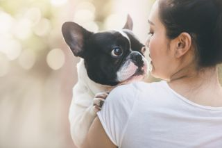A French bulldog with its owner.