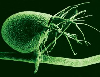 a scanning electron micrograph of the carnivorous plant, the humped bladderwort.
