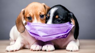 Image of two puppies, one brown and white and one black and white, wearing a face mask
