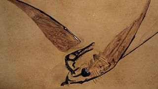 A similar fossil to the one discovered in the desert. Rhamphorhynchoids were small pterosaurs with long tails and fully-toothed beaks.