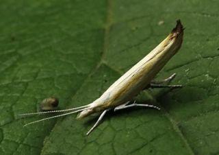 The new moth species, Ypsolopha blandella, at rest.