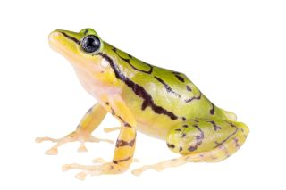 ecuadorean-rainfrog-species