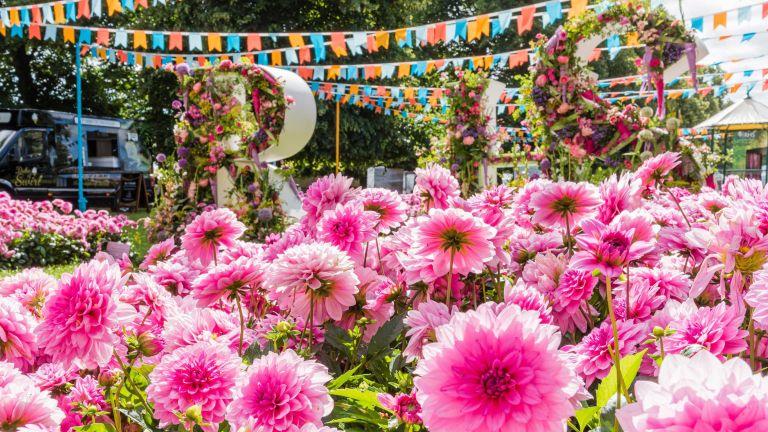 pink dahlias at RHS Hampton Court Flower Show