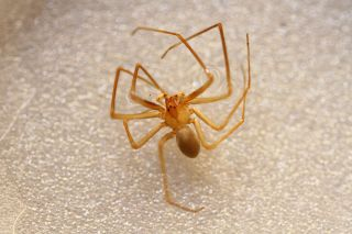 A Mediterranean recluse spider embalmed in water.