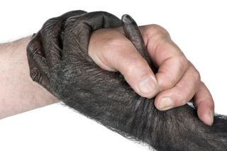There are many profound differences between humans and chimps. Credit: Dreamstime